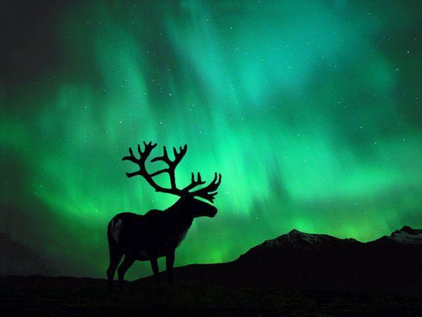 Caribou-northern-lights_104_600x450