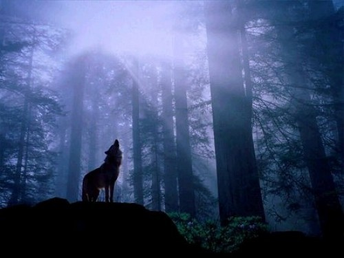 Wolf_howling_forest-e1325563212407